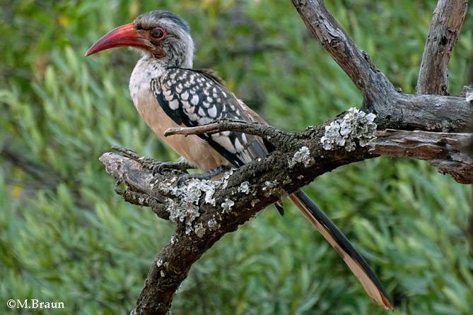 Tockus rufirostris - Südlicher Rotschnalbeltoko
