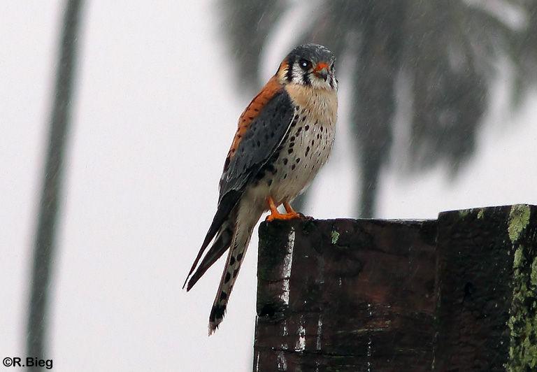 Buntfalke - Falco sparverius