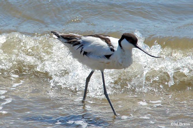 Säbelschnäbler - Recurvirostra avosetta