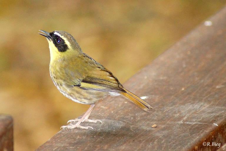 Gelbkehlsericornis - Sericornis citreogularis