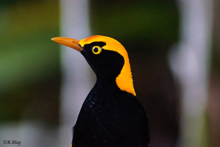 Gelbnacken-Laubenvogel - Sericulis chrysocephalus