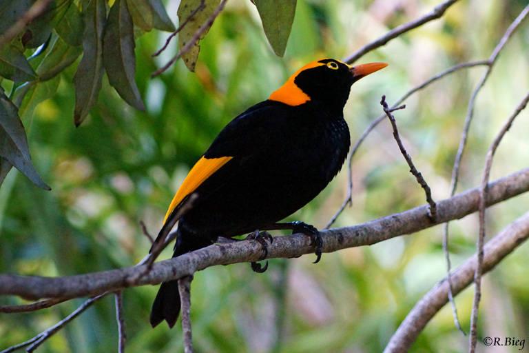 Gelbnacken-Laubenvogel - Sericulis chrysocephalus; das Männchen ist viel bunter