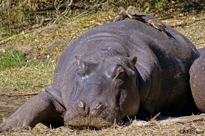 Hippopotamus amphibius - die Männchen können über 4000 kg schwer werden