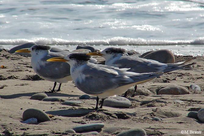 Sterna bergii - Eilseeschwalbe