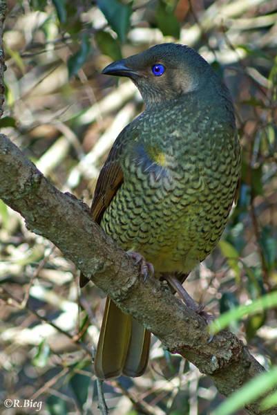 Seidenlaubenvogel, weibl. - Ptilinorhynchus violaceus
