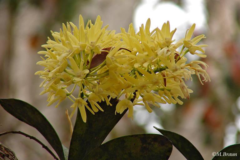Dendrobium speciosum, eine Orchidee