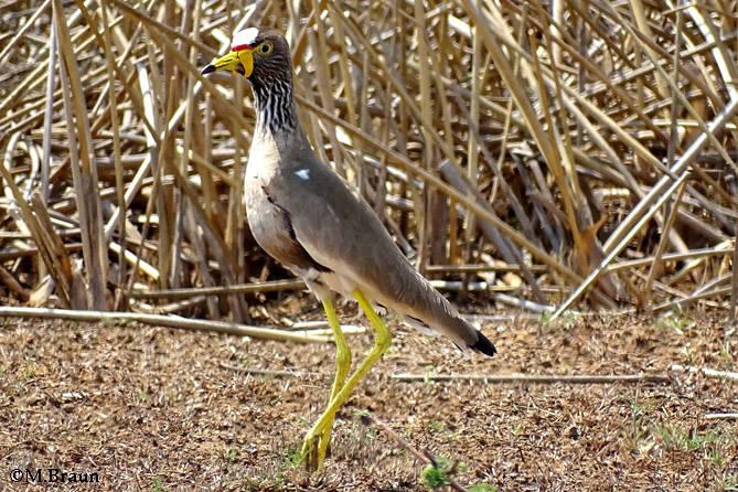 Senegalkiebitz - Vanellus senegalus lateralis