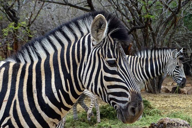 Burchell´s Zebra in Marloth Park nahe der Lodge
