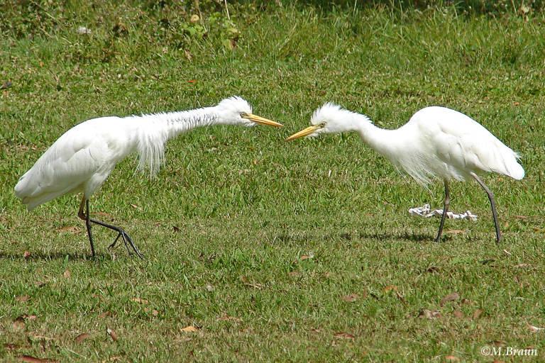 Kuhreiher - Ardea ibis