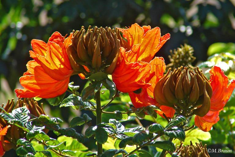 Blüte eines Tulpenbaums - Spathodea campanulata