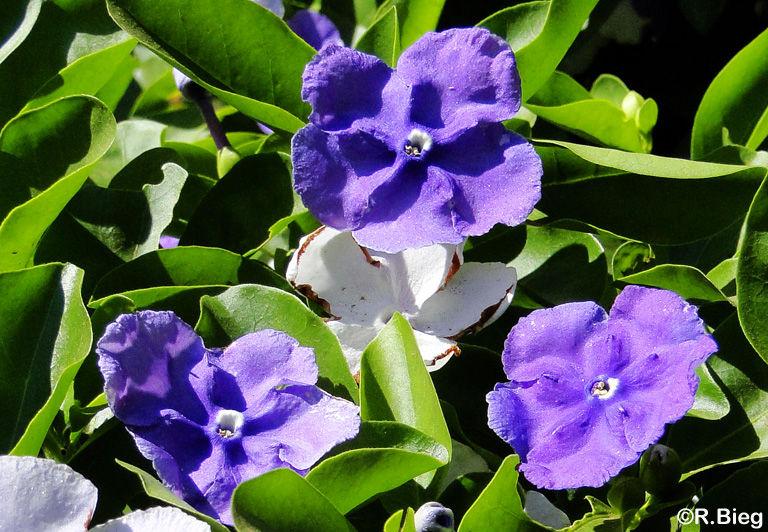 Brunfelsia spec.