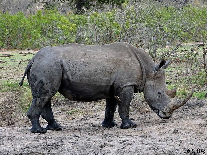 Ceratotherium simum - es gehört zu den größten Landsäugetierarten