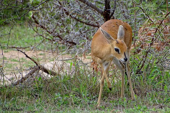 Steinantilope - Raphicerus campestris - eine Zwergantilope
