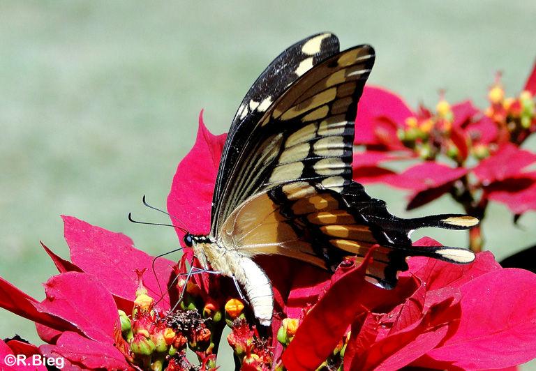 Heraclides thoas brasiliensis - Papilionidae