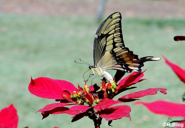 Heraclides astyalus atyalus - Papilionidae
