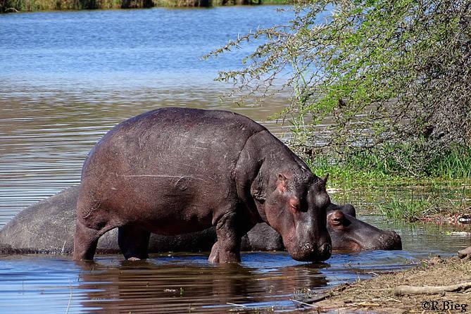 Hippopotamus amphibius - hier am Lake Panic nahe Skukuza