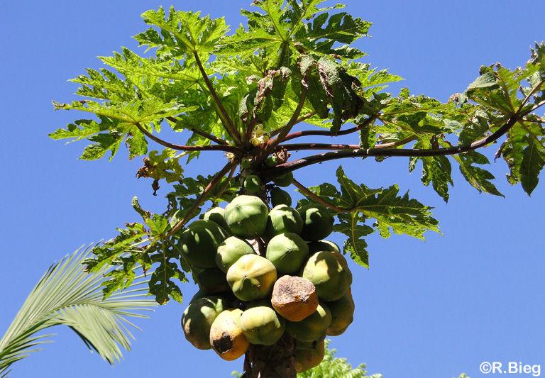 Carica papaya - Papaya