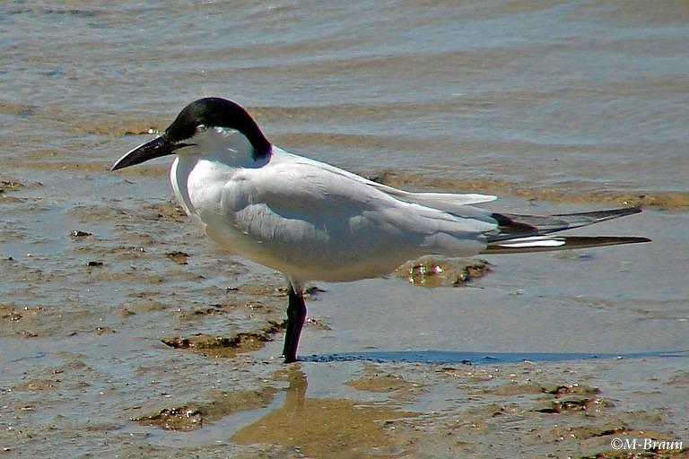 Lachseeschwalbe - Gelochelidon nilotica