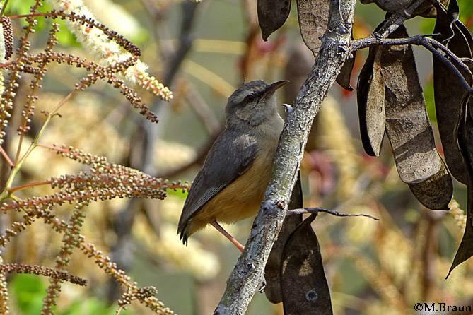 Langschnabelsylvietta - Sylvietta rufescens - ein kleiner Singvogel