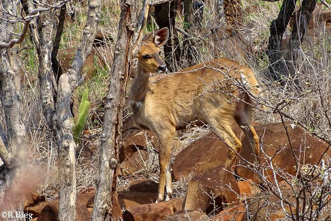Auf dem Lodgegelände lassen sich oft Antilopen blicken