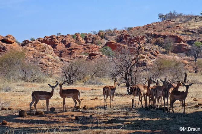 Impalaherde - die Schwarzfersenantilope