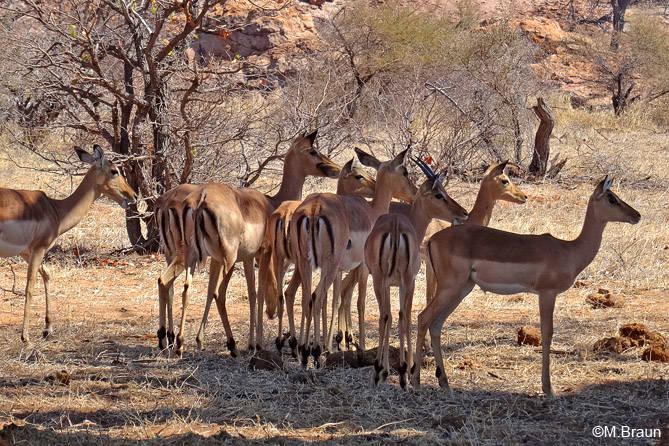 Schwarzfersenantilopen, auch Impala genannt - Aepyceros m. melanopus