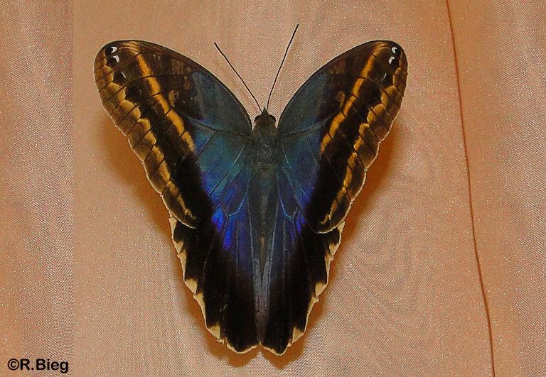 Caligo illioneus - die Oberseite sieht völlig anders aus