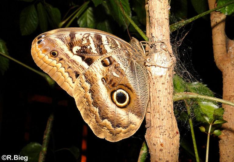 Caligo illioneus - Nymphalidae