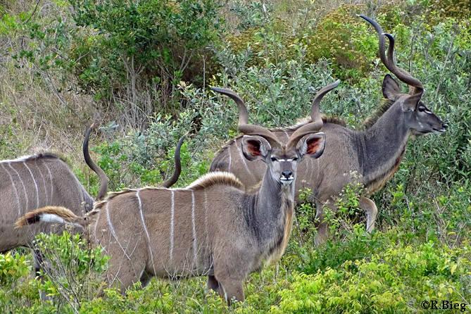 Großer Kudu - Tragelaphus strepsiceros - sie leben in kleinen Herden