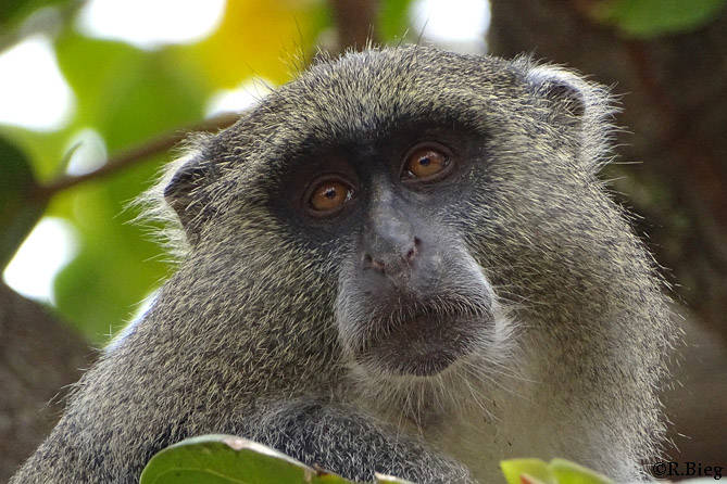Samangos kommen nur in kleinen Gebieten Südafrikas vor
