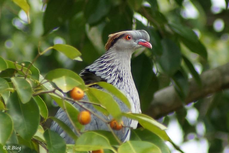 Haubenfruchttaube - Lopholaimus antarcticus