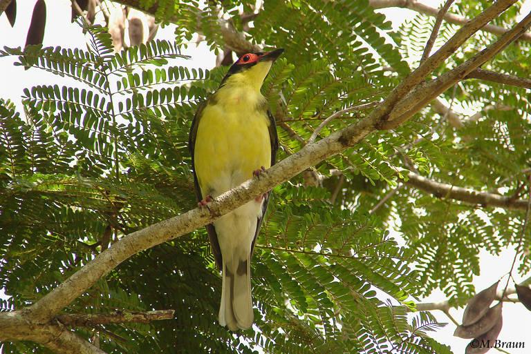 Feigenpirol - Specotheres viridis, männl.
