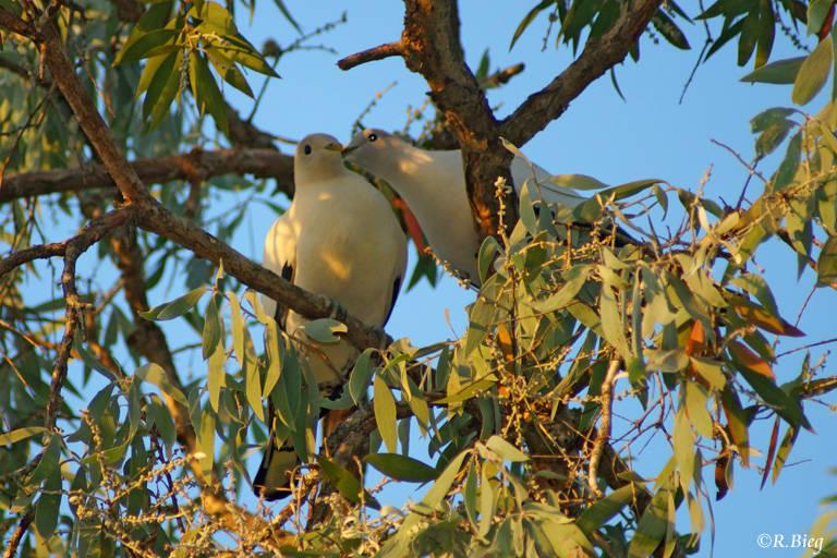Zweifarben-Fruchttaube - Ducula bicolor