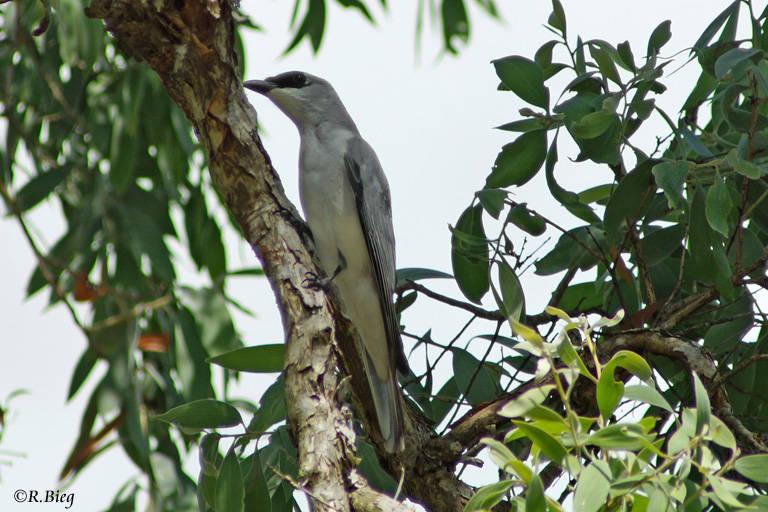Weißbauch-Raupenfänger - Coracina papuensis