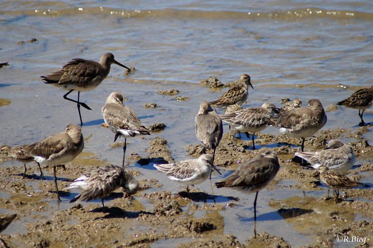Bei Niedrigwasser versammeln sich etliche Vogelarten am Strand