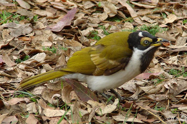 Blauohr-Honigesser; die Jungvögel haben eine gelbe Färbung