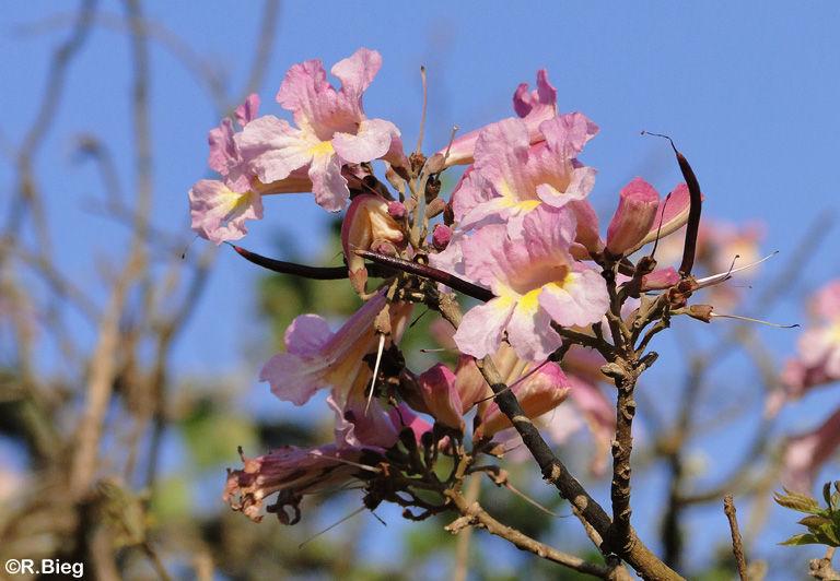 Tabebuia heptaphyllus - Bignoniaceae