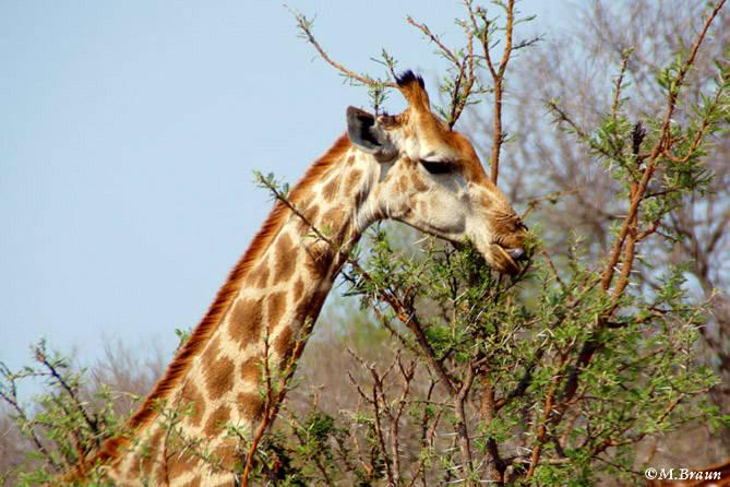 Giraffa camelopardis - vorsichtig zupfen sie mit ihrer Zunge die grünen Blätter zwischen den spitzen Dornen