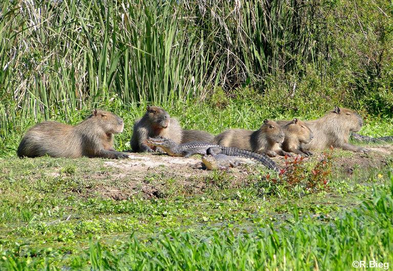 Häufig liegen Capybaras und Kaimane gemeinsam am Seeufer