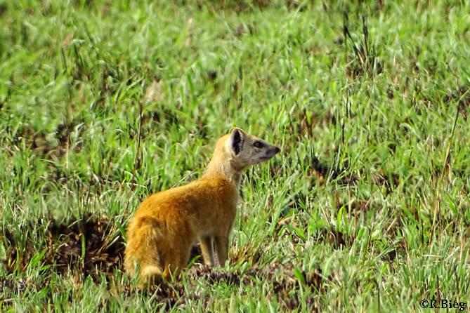 Fuchsmanguste -Cynictis penicillata