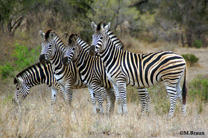 Burchell´s Zebra - Equus burchelli - sie leben in Familiengruppen