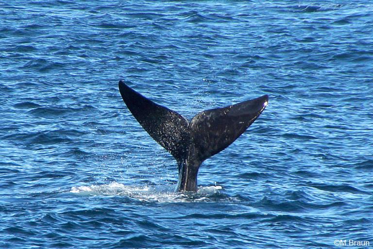 Südlicher Glattwal - auch Südkaper genannt - die Fluke