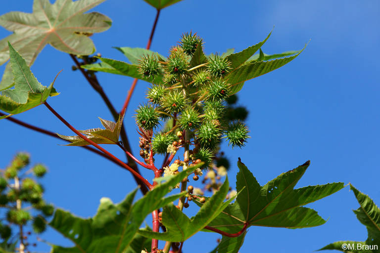 Rizinuspflanze - auch Wunderbaum genannt