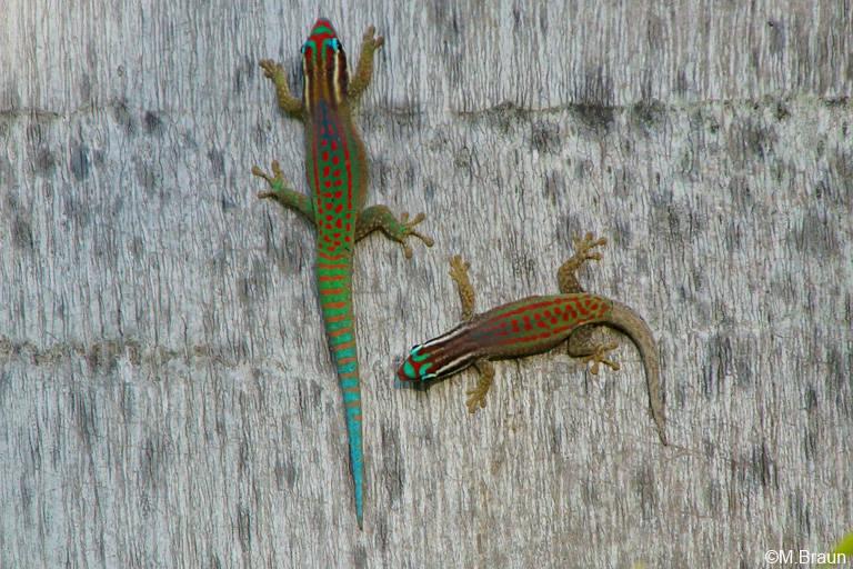 Phelsuma ornata - Männchen und Weibchen
