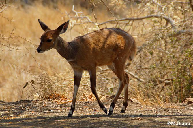 Buschbock - Tragelaphus sylvaticus