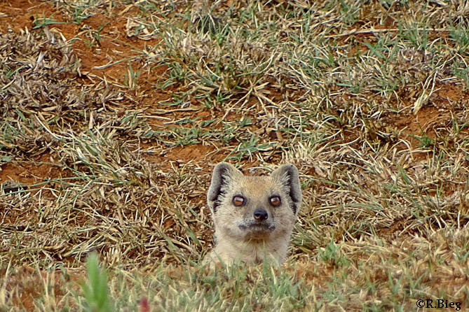 Fuchsmanguste - Vorsichtig schauen sie aus dem Bau