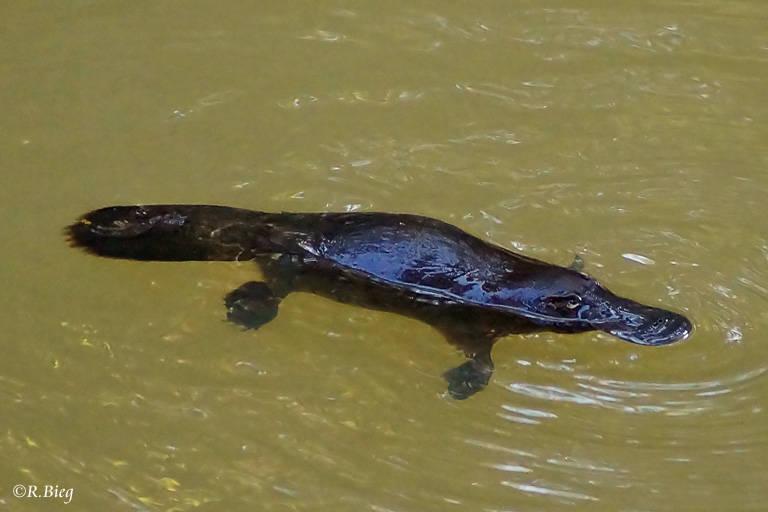 Schnabeltier - Ornithorhynchus anatinus