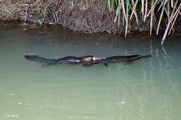 Zarte Bande: Schnabeltiere - Ornithorhynchus anatinus