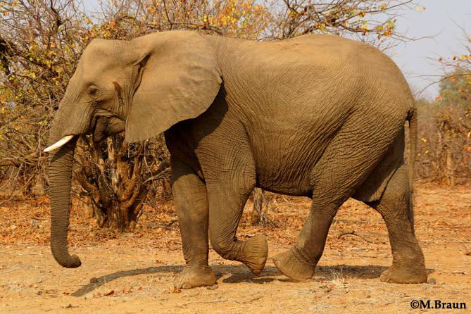 Loxodonta africana - Bullen werden 3 m hoch