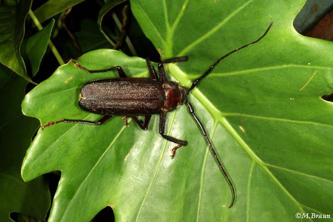 Der Käfer gehört zu den Cerambycidae